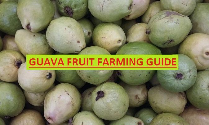 TOA GUAVA FRUIT FARMING