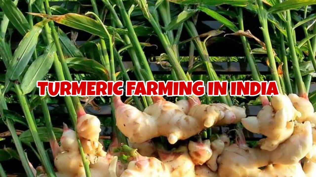 TURMERIC FARMING IN INDIA