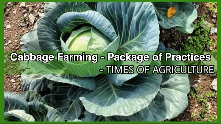 CABBAGE FARMING PACKAGE OF PRACTICES