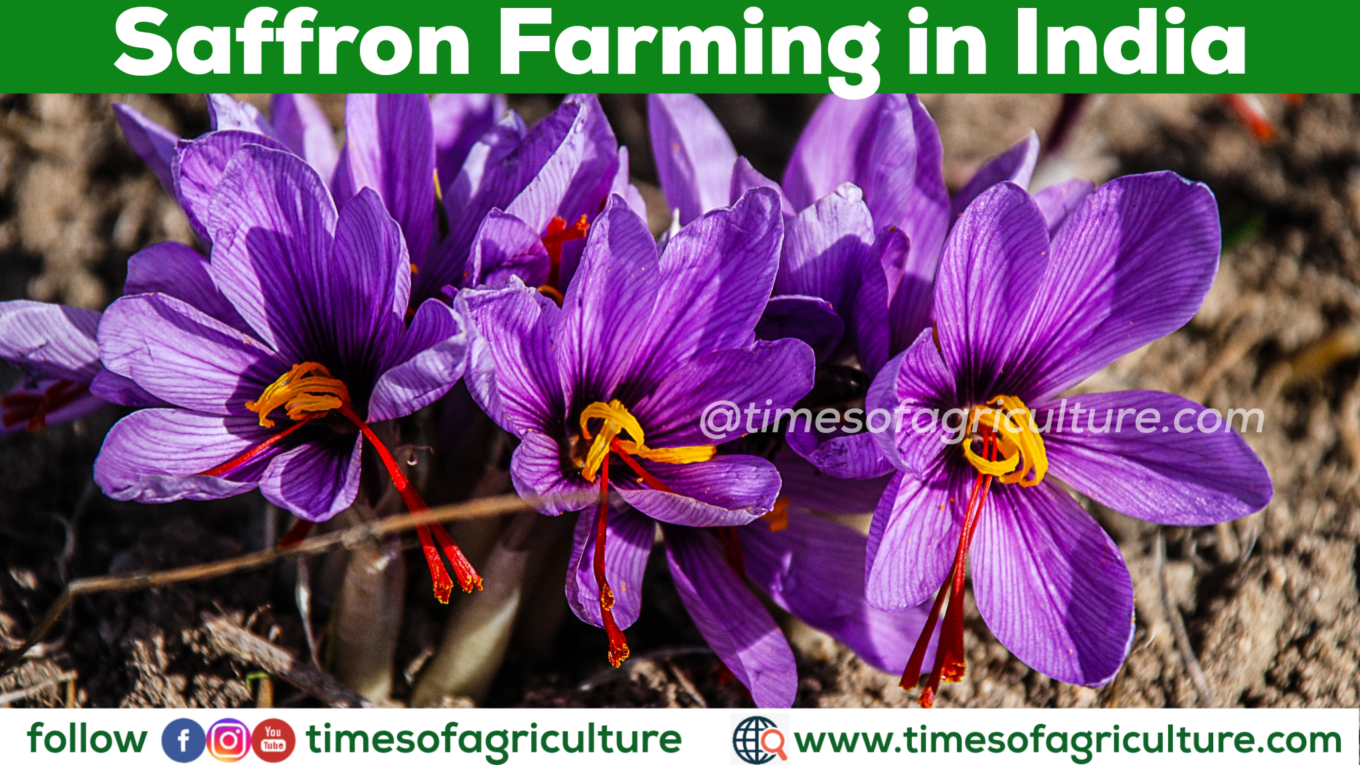 SAFFRON FARMING IN INDIA