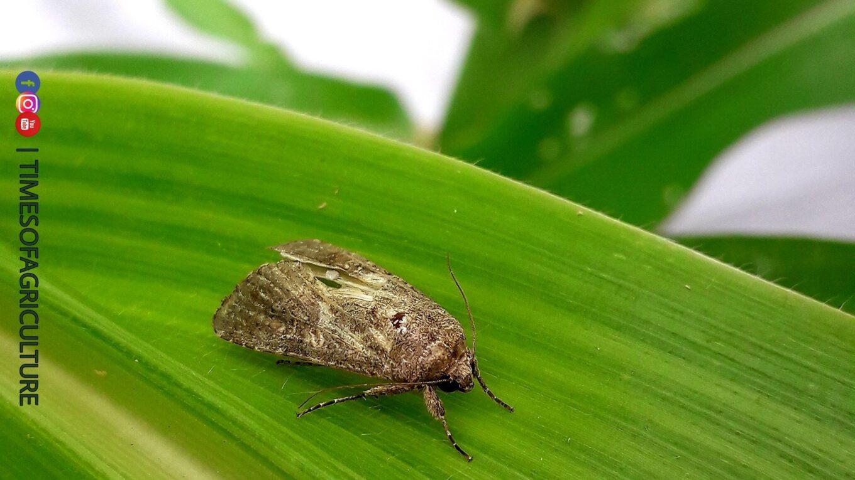 Fall Army Worm Adult Moth