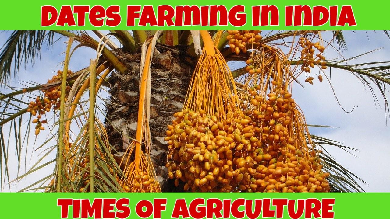 DATES FARMING IN INDIA