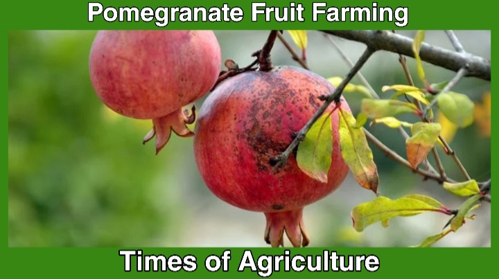 POMEGRANATE FARMING PACKAGE OF PRACTICES