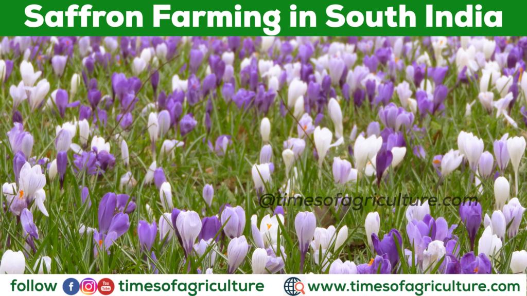 SAFFRON FARMING IN SOUTH INDIA