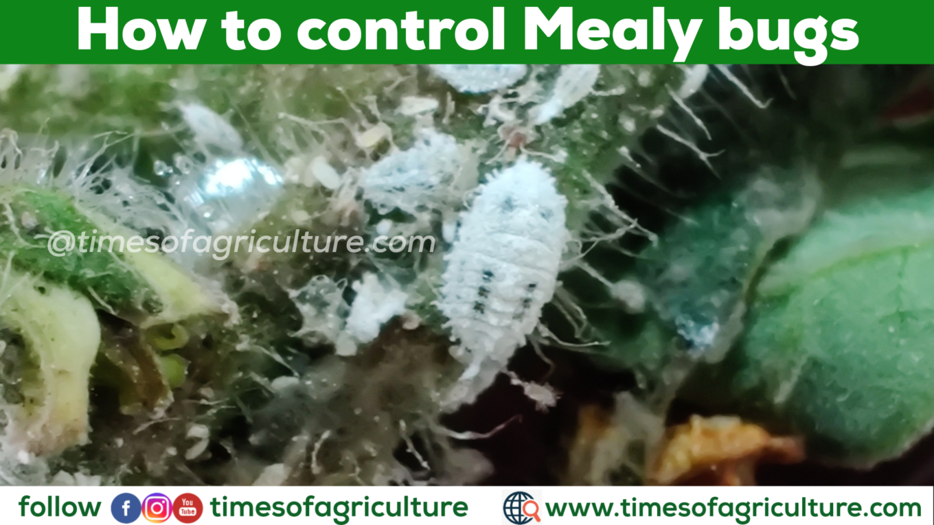HOW TO CONTROL MEALYBUGS NATURALLY