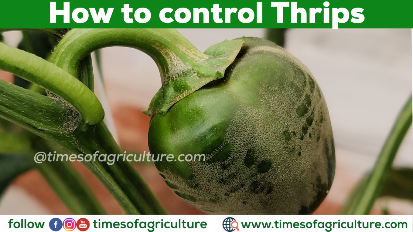 HOW TO CONTROL THRIPS TIMES OF AGRICULTURE