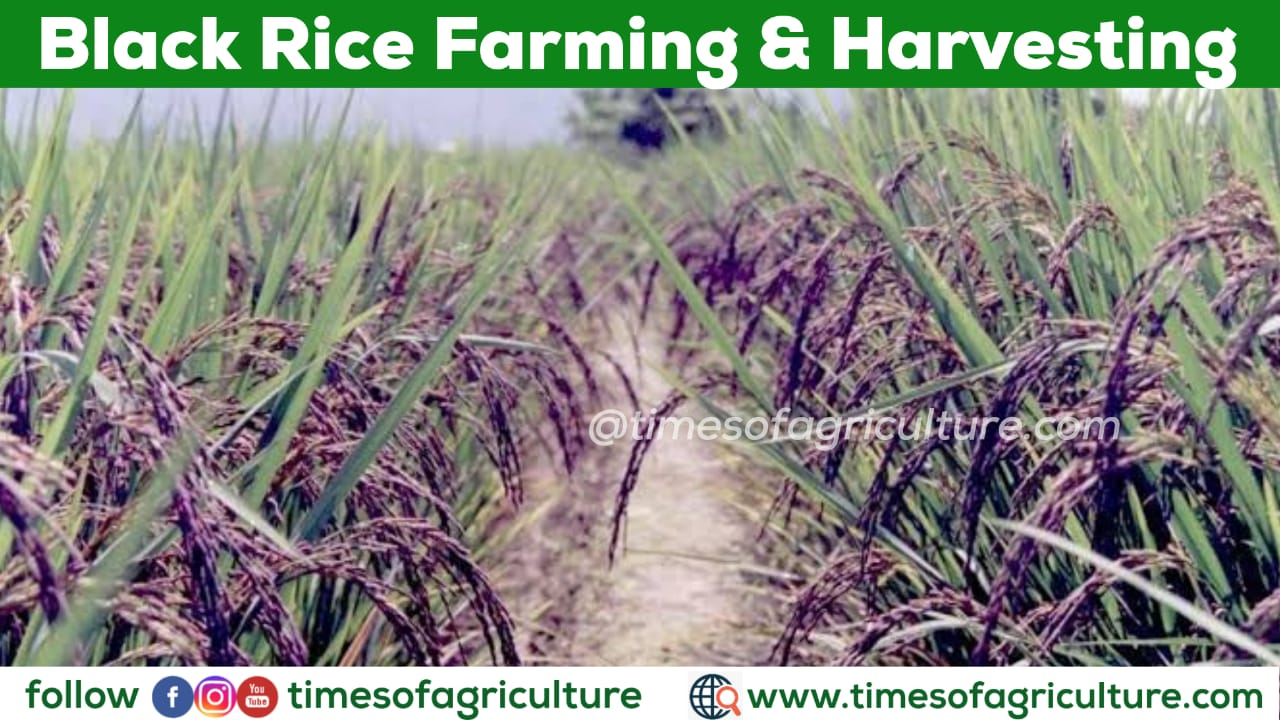 BLACK RICE FARMING AND HARVESTING
