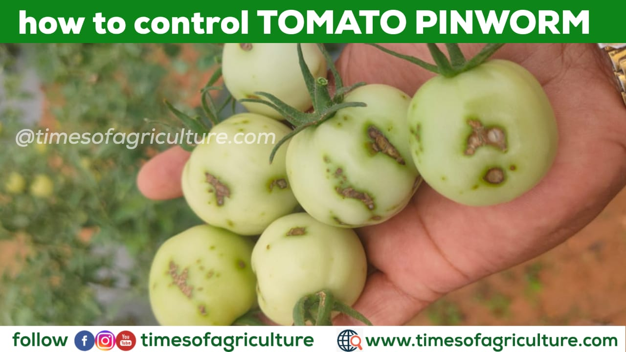 HOW TO CONTROL TOMATO PIN WORM